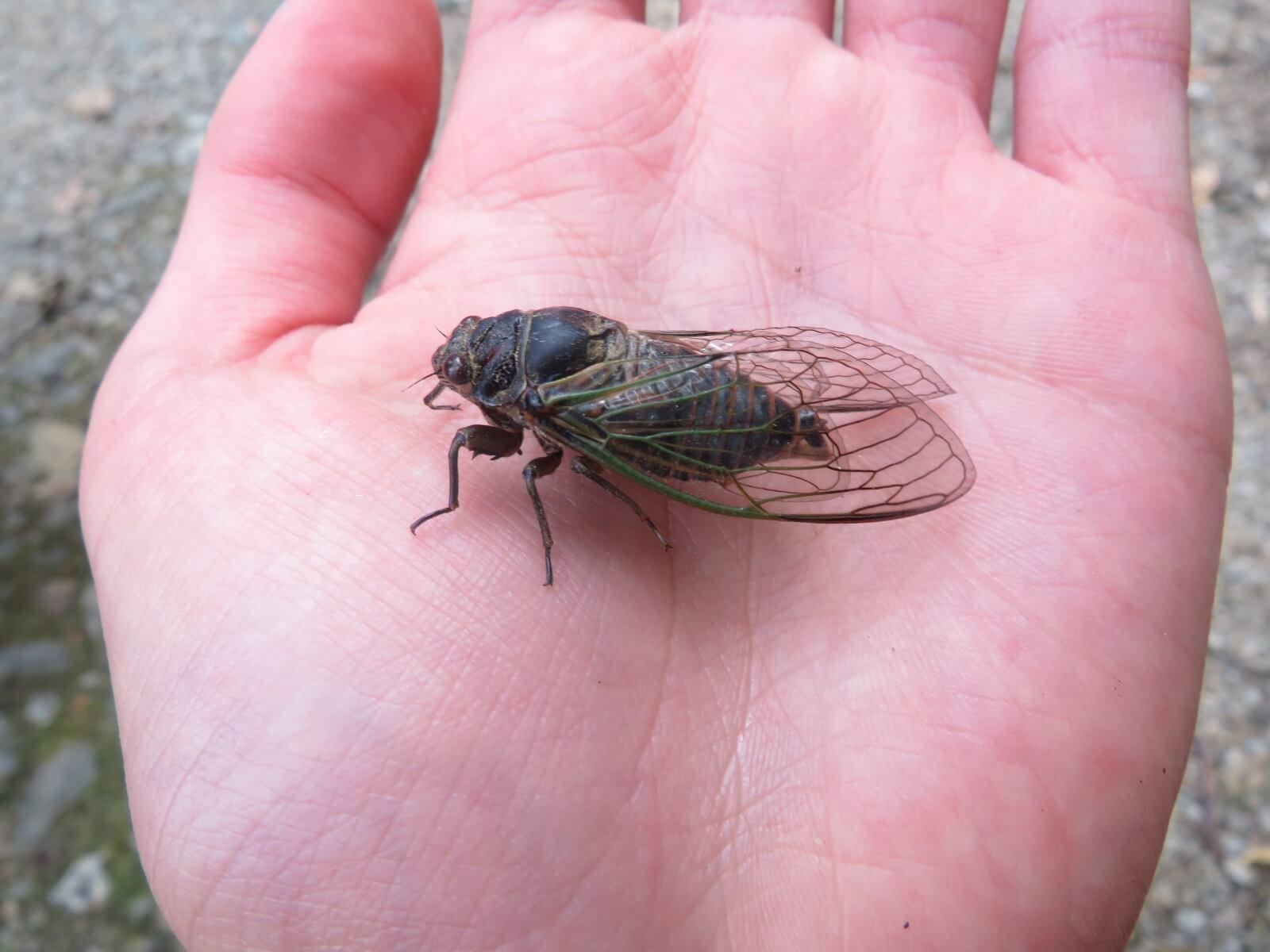 Een cicade op een hand