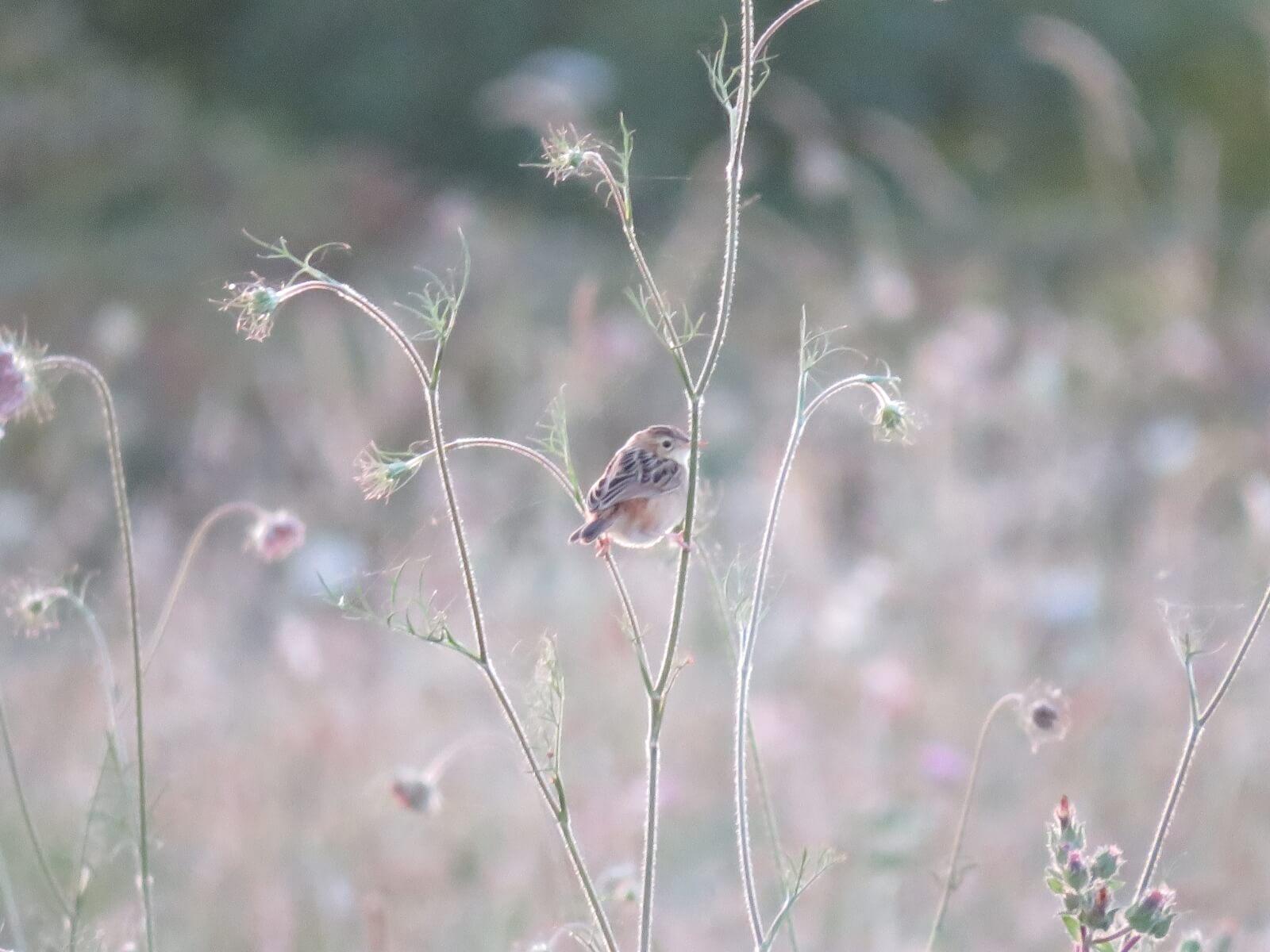 Graszanger, een vogel