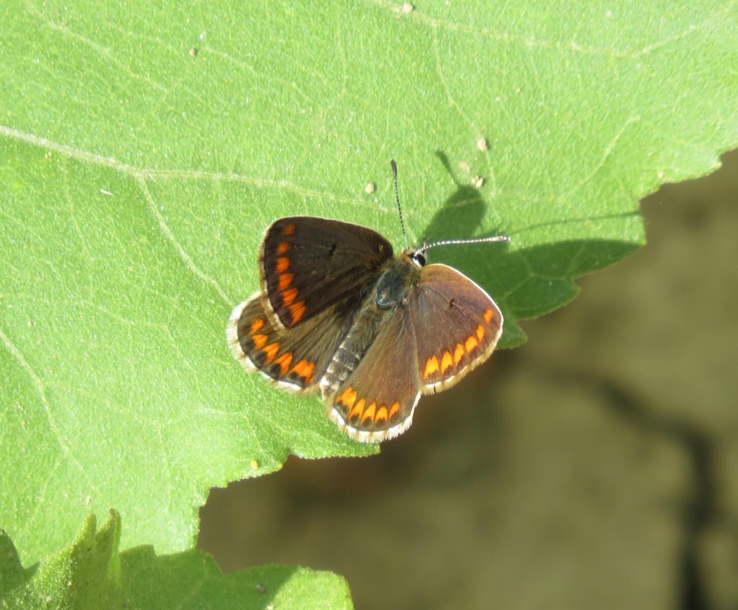 Vlinder: bruin blauwtje