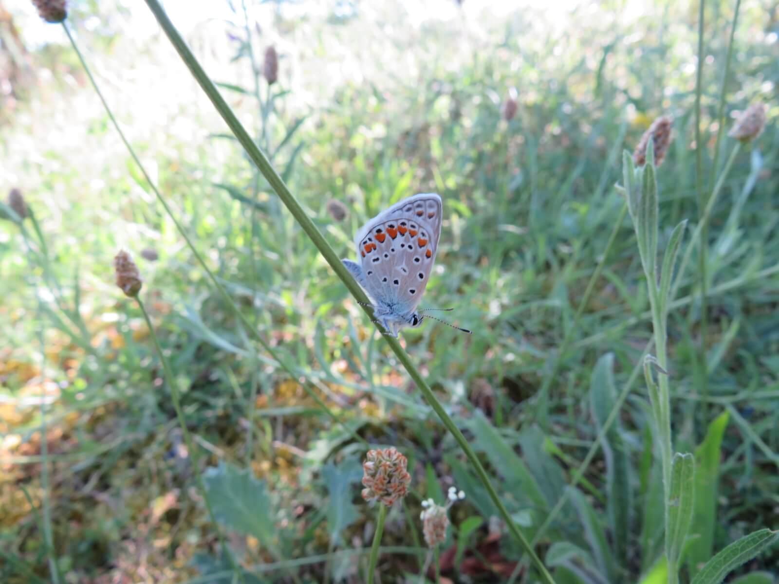 Vlinder: icarusblauwtje