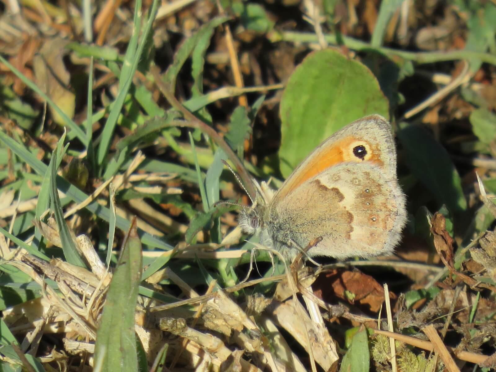 De vlinder het hooibeestje in Zuid-Frankrijk