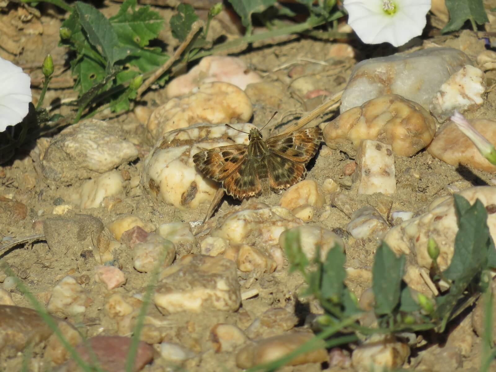 Vlinder: kaasjeskruiddikkopjes