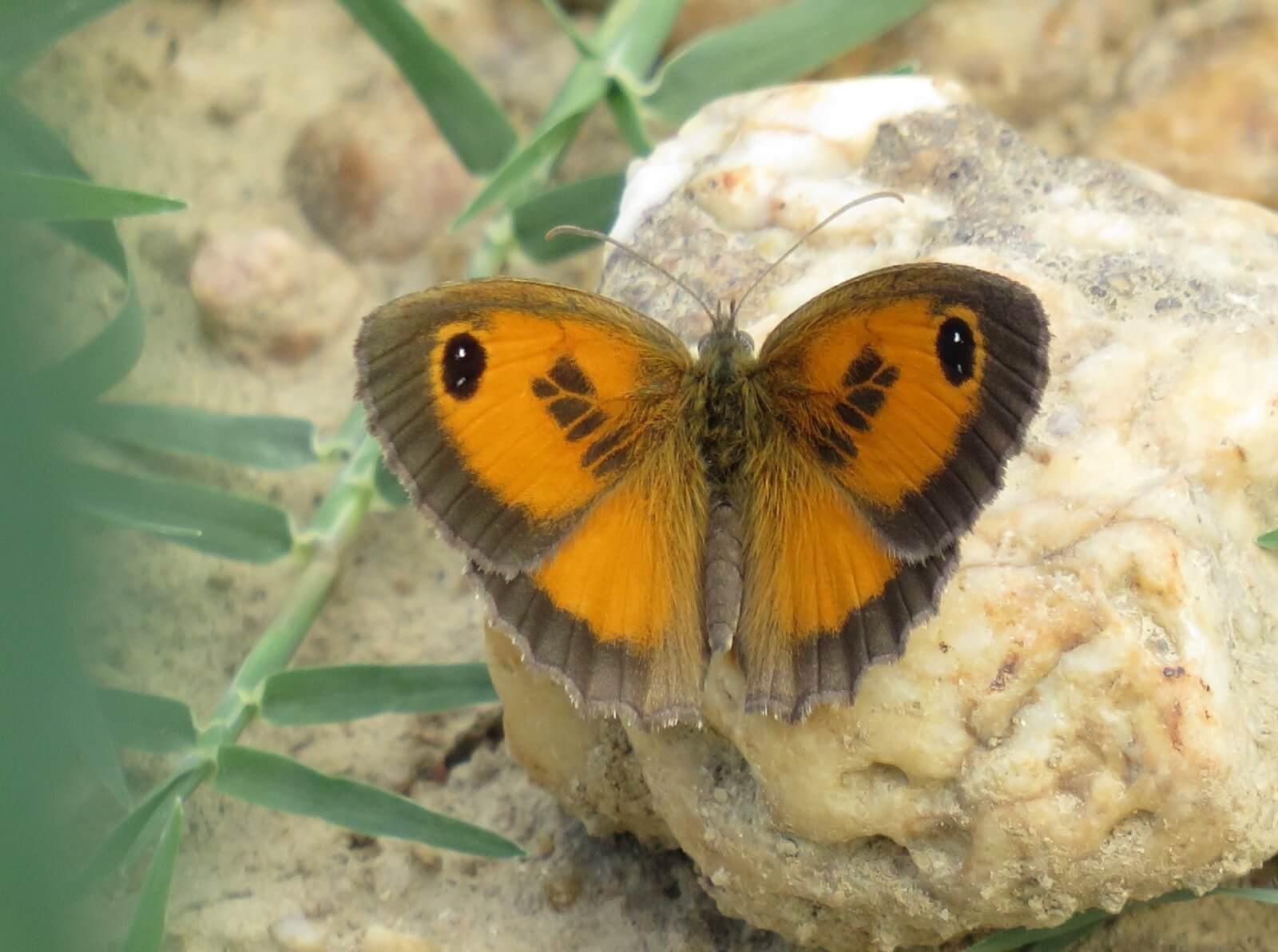 Vlinder: zuidelijk oranje zandoogje