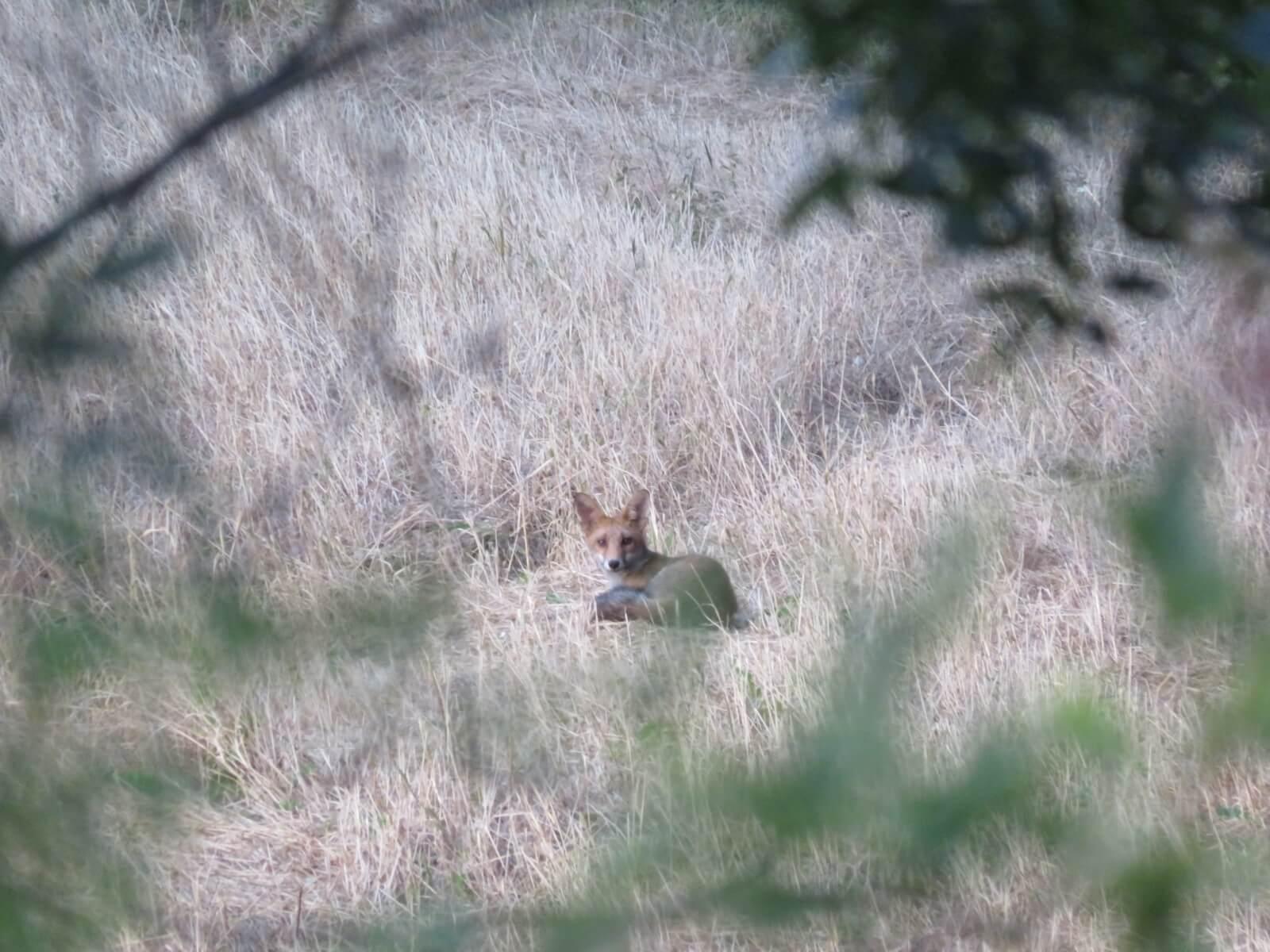 Een vos in Zuid-Frankrijk